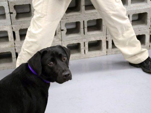 """Cane """"licenziato"""" dalla CIA: non vuole cercare gli esplosivi."""