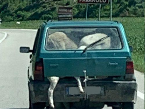"""Viaggia con sei pecore vive nelle Panda! """"Non sapevo come portarle"""""""